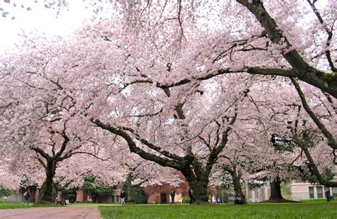 cherry tree yoshino garden design the abcs of northern virginia flowering trees surrounds landscape architecture