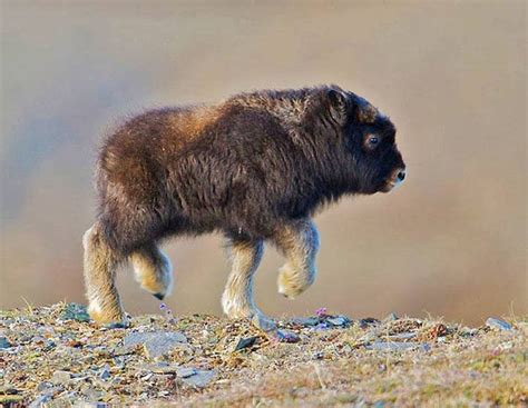 baby and baby buffalo luvbat