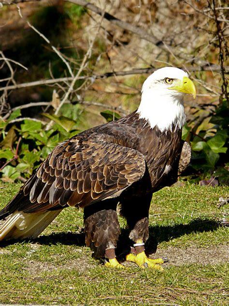 imagenes de animales wikipedia animales salvajes que habitaban o habitan en colombia