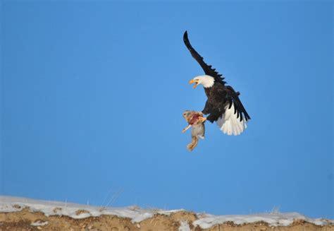 Tom Green Desk Seedskadee Officials Discuss Bald Eagle Hunting Strategies