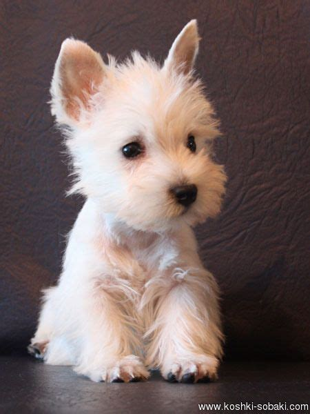 westie dogs best 25 westie puppies ideas on west highland terrier puppy small dogs