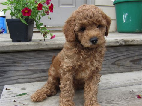 mini labradoodles wisconsin miniature goldendoodles for sale in wisconsin
