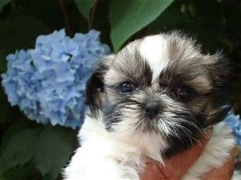 shih tzu breeders in ct standard country home shih tzu puppies for sale in massachusetts connecticut new