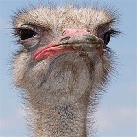 Ostrich Pictures Kids Search Images Of