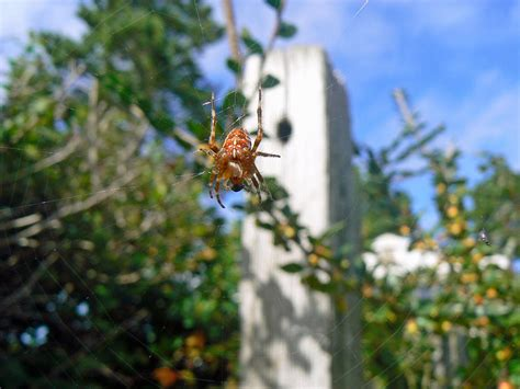 Orange Garden Spider by Orange Garden Spider And Fly Photograph By Patch