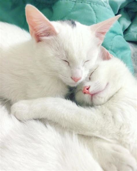 twin cats take a look at the world s most beautiful twin cats top13
