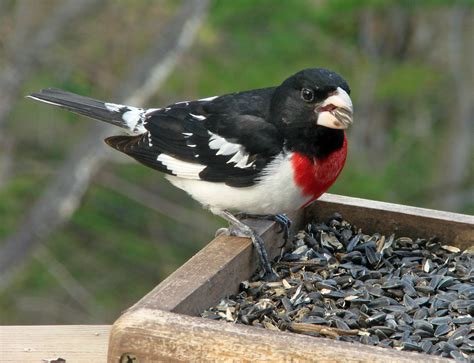 laura s rose breasted grosbeak photos