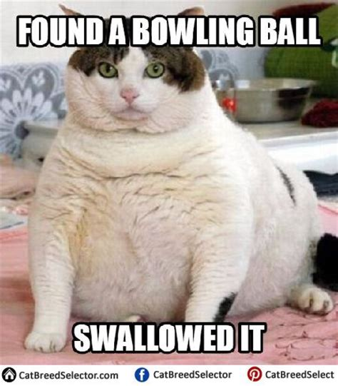 Fat Cat Meme - 114 best images about funny cute angry grumpy cats memes