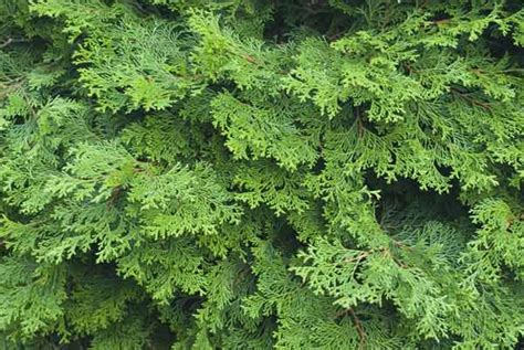 Ist Thuja Giftig by Giftige Gartenpflanzen Bilsenkraut Foto Imago 7