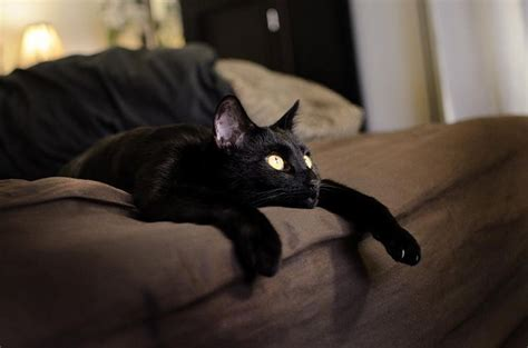 cat staring at couch funny cats black cat