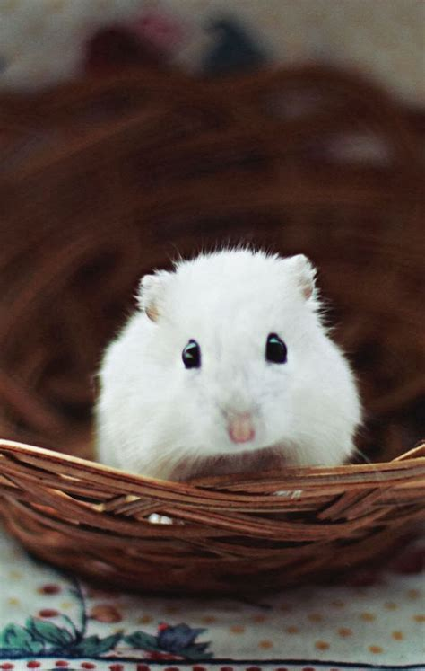 mobile hamster best 25 hamsters ideas on hamsters
