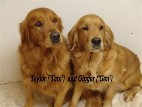 golden retriever ca golden retrievers puppy breeds picture
