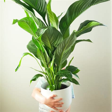 indoor plants nz peace lily in a white plant pot modern fresh