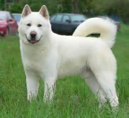 Akita - Dog, Puppies, Diet, Breeding, Pictures, Habitat ...