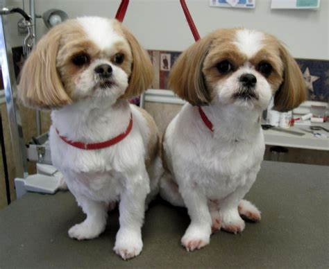 trimmed shih tzu shih tzu puppy cut puppies puppy