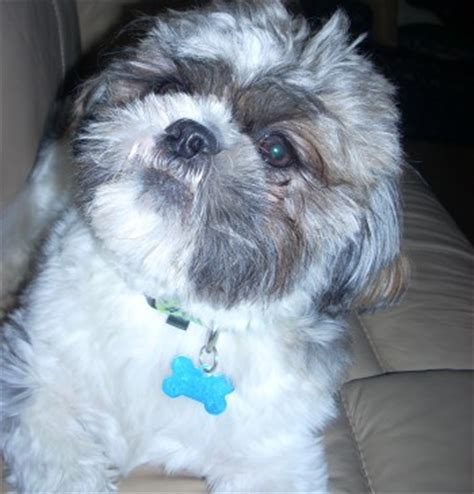 local shih tzu rescue shih tzu rescue faqs breeds picture