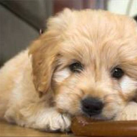 A Miniature Golden Doodle Part Retriever Part Poodle Hypoallergenic And