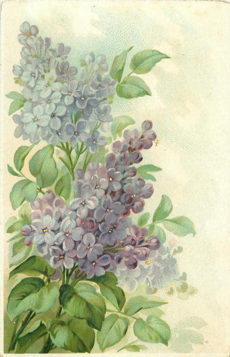 purpleblue lilac flowers   distinct sprays stems  left tuckdb postcards