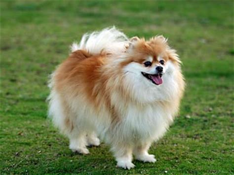 dogs 101 pomeranian pets tips advice me