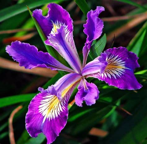 iris fiore iris botanica significato fiori caratteristiche dell iris