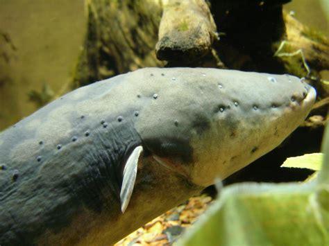 electric eel electric eel the life of animals
