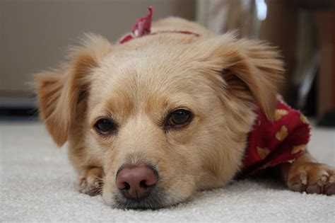 golden retriever mixed with chihuahua golden retriever chihuahua mix flickr photo