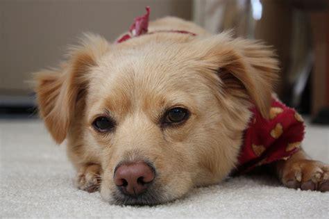 chihuahua golden retriever mix golden retriever chihuahua mix flickr photo