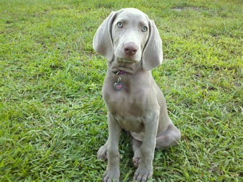 weimaraner puppies for sale weimaraner puppies for sale 6 desktop background dogbreedswallpapers