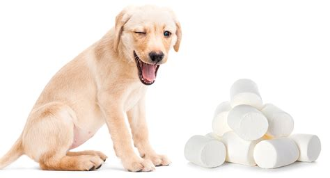 marshmallow dog can dogs eat marshmallows safely and stay fit and healthy