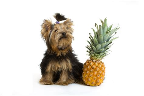 can you eat dogs when can dogs eat pineapple is pineapple or bad for dogs