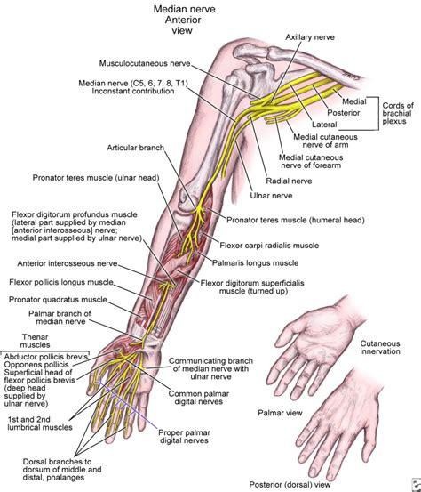 nerves of the human diagram arm anatomy nerves human anatomy diagram