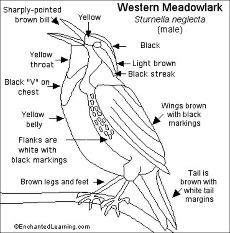 western meadowlark printout enchantedlearning com