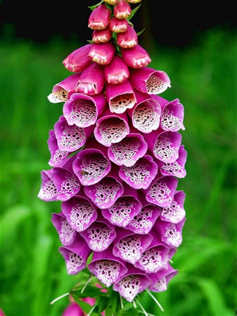 foxglove flower pictures meanings