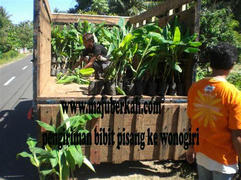 Bibit Cengkeh Terbaru bibit pisang raja dan pisang ambon di kirim ke pemda wonogiri