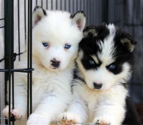 pomeranian husky hypoallergenic 17 best ideas about pomsky puppies on husky pomeranian mix pomsky