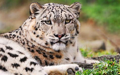 imagenes de jaguar blanco white snow leopard wallpapers hd wallpapers id 9636