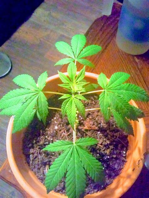 ways  identify female  male marijuana plants