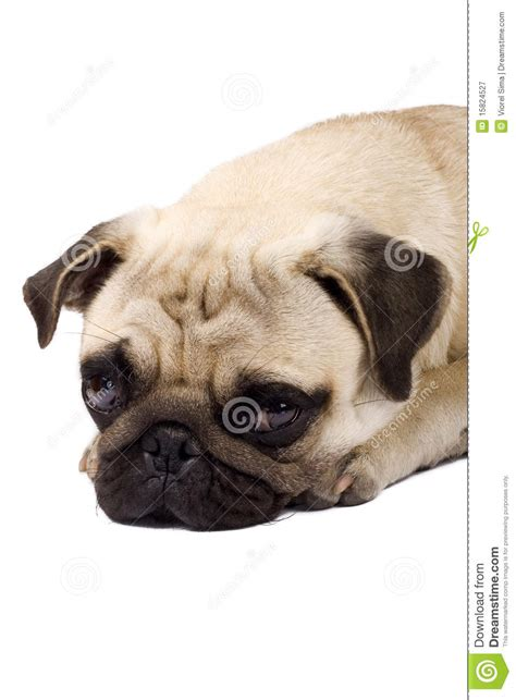 sad pug puppy sad pug puppy royalty free stock photography image 15824527