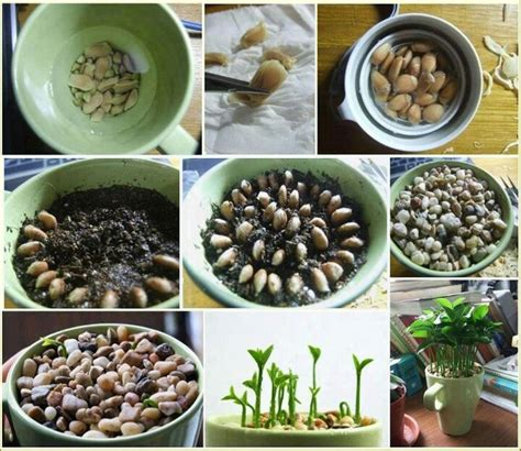 indoor plant seeds diy grow your own lemon seed indoor plant