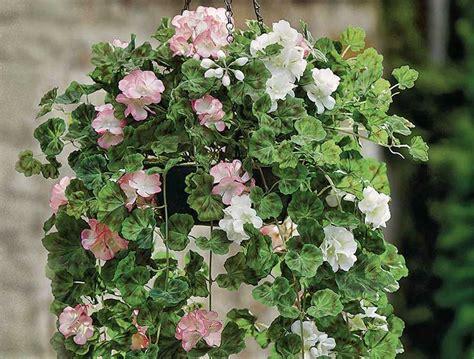 Tanaman Bunga Gantung tanaman gantung yang tahan panas belajar berkebun