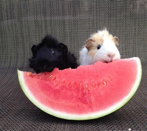 can eat watermelon can guinea pigs eat watermelon pets home decor
