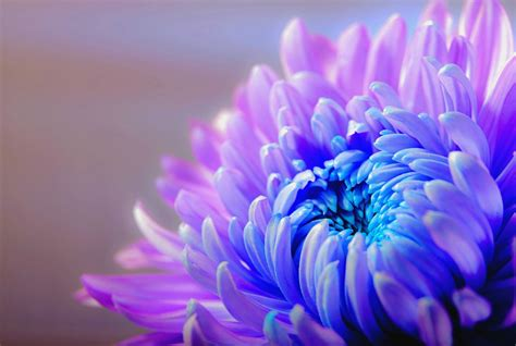 flower bloom free photo chrysanthemum blossom bloom free image on