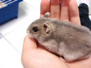 White dwarf hamsters dwarf hamster female