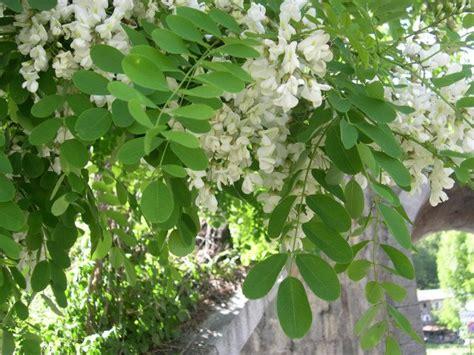pianta ornamentale dai fiori penduli l acacia cittadiluce it