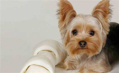 is a yorkie hypoallergenic donte s den top in sarasota interplex transportation