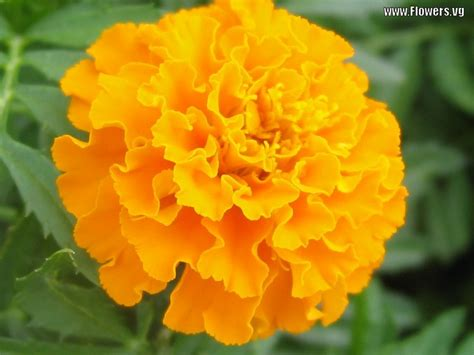 marigolds shade amazing macro flowers wallpaper 1680x1050 22459