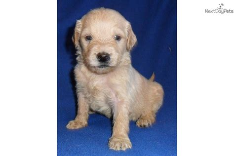 goldendoodle puppy care and goldendoodle puppy for sale near akron canton ohio