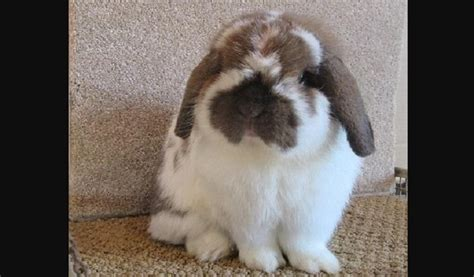 holland lop habitat size facts history  images petworlds