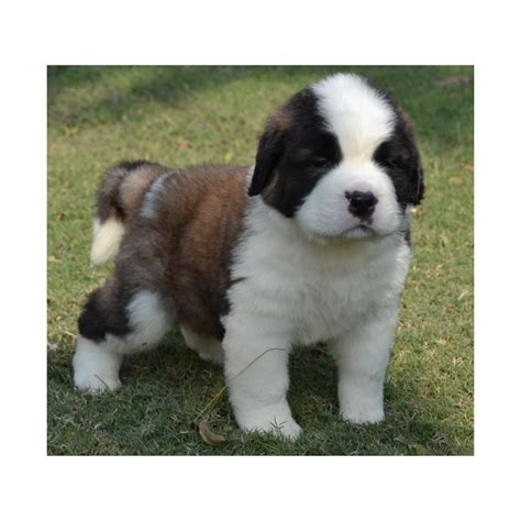 st bernard puppy for sale litter of st bernard puppies breeds picture