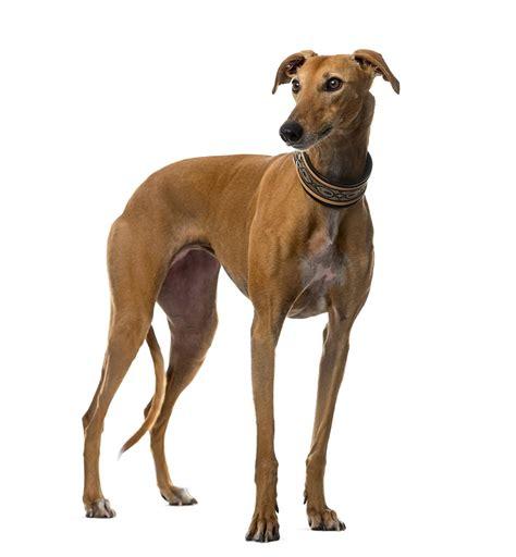grey hound greyhound